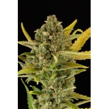 Critical Cheese Auto (1ud,3uds,5uds 10uds)  DINAFEM