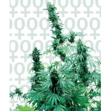 Early Skunk  (3uds,5uds,10uds y 25uds) Sensi Seeds