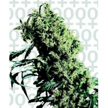 Northern Light 5 x Haze (3uds,5uds y 10uds) Sensi Seeds