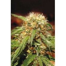 Sweet Tai (3uds y 5uds) SWEET SEEDS