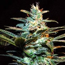 Ice Cool (3 und) SWEET SEEDS