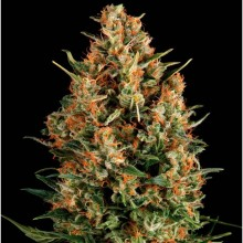 Auto Wembley (1 und) PYRAMID SEEDS