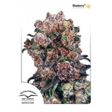 Blueberry Regular (10 und) DUTCH PASSION