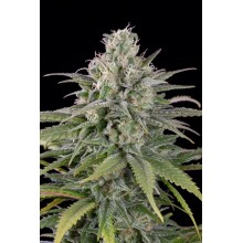 UK Cheese Auto (3uds,5uds y 10uds) Humboldt Seeds