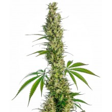 Eagle Bill Regular 10uds Sensi Seeds