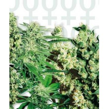 Feminized Mix (20uds) Sensi Seeds