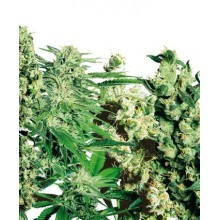 Feminized Mix (5 fem) SENSI SEEDS