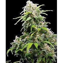 California Indica Fem (3uds,5uds y 10uds) Sensi Seeds